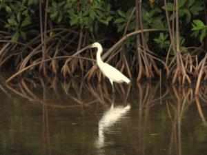mangrove pic boeuf