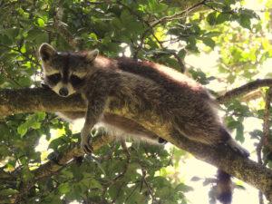zoo racoon